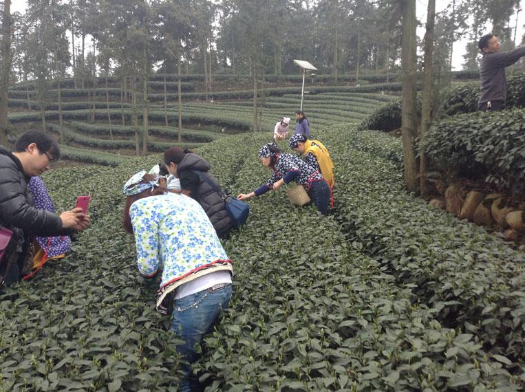 ручной сбор чая