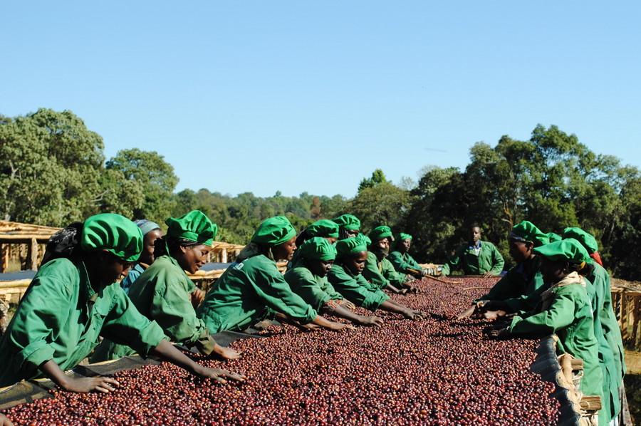 Производство кофе в Кении