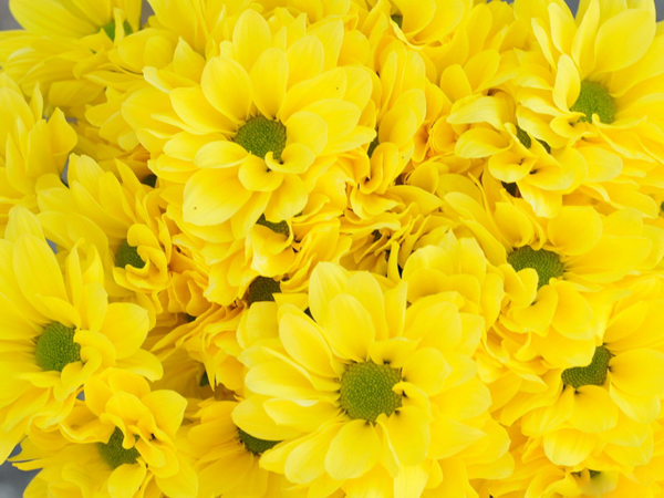 Chrysanthemum_Celebrate.jpg