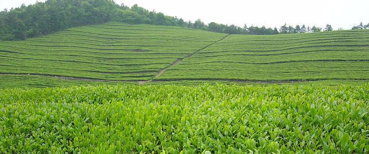 плантация желтого чая