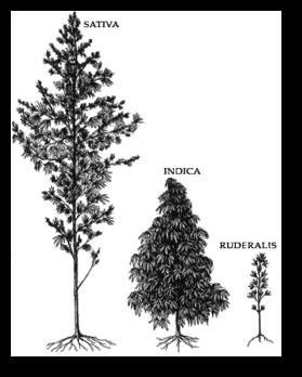 Подробное описание всех всех сортов и видов каннабиса
