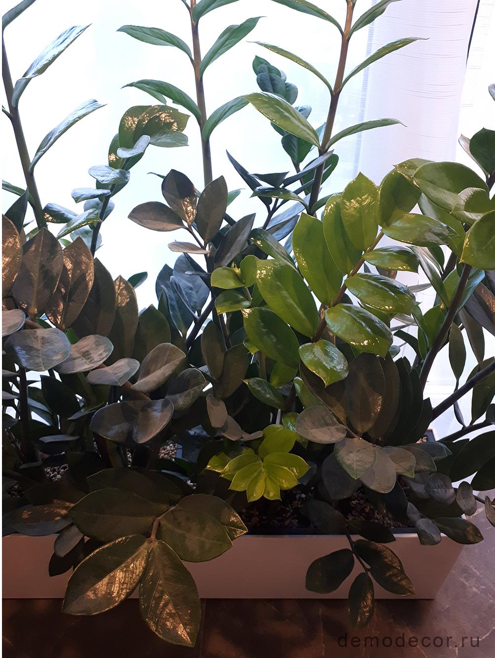 Замиокулькастеневыносливый (долларовое дерево)
