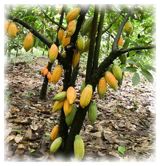 Так выглядит какао дерево