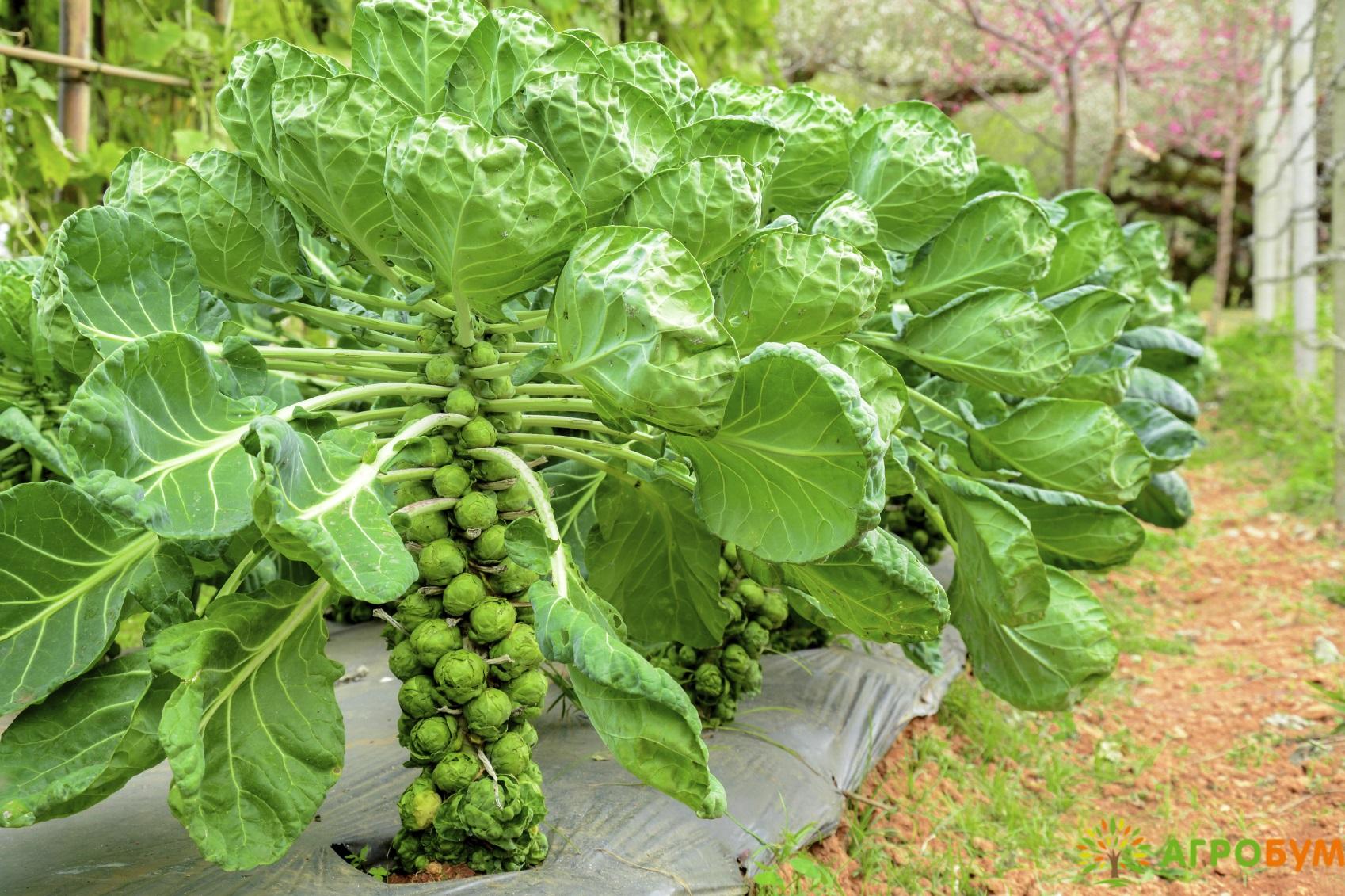 картинка брюссельской капусты
