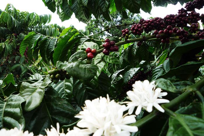 Цветение кофе