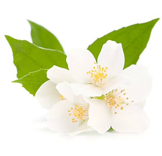 Эфирное масло жасмина (Jasminum sambac)