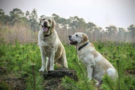 Labrador2.jpg