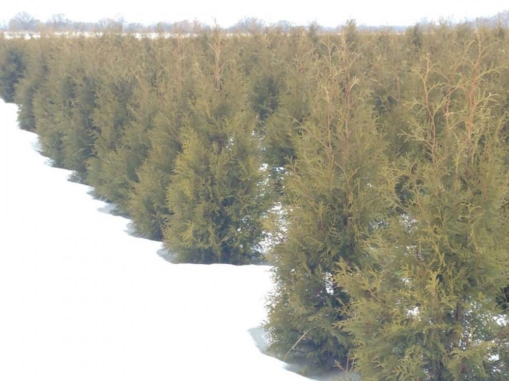 туи_о_нас_зима.jpg