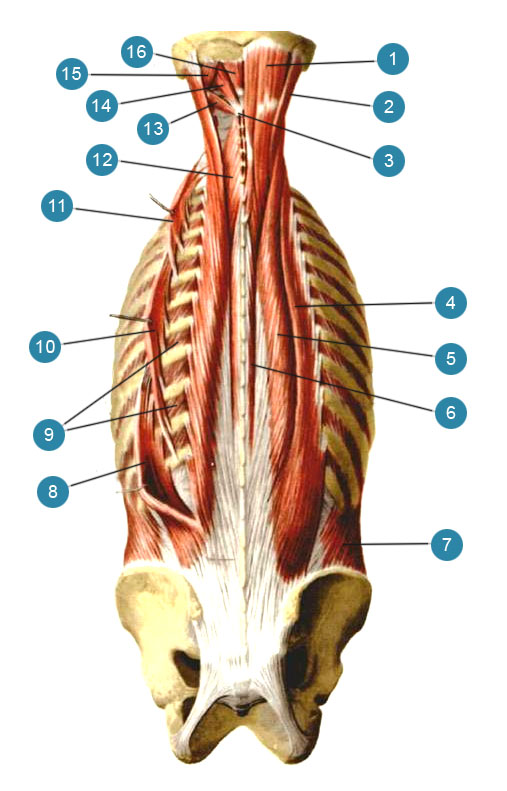Спина - продольные мышцы для массажа magic wand