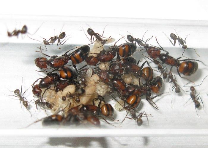 Многоматочная колония C. nicobarensis