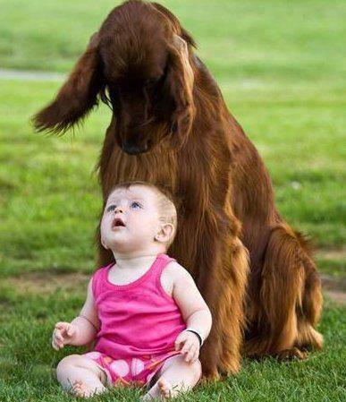 ирландский сеттер и ребенок