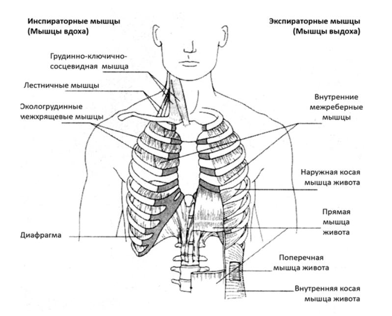 Мышцы обеспечивающие внешнее дыхание