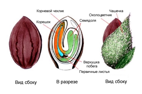 struktura_semyan_konopli.jpg