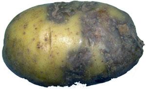 Как выглядит фитофтороз картофеля