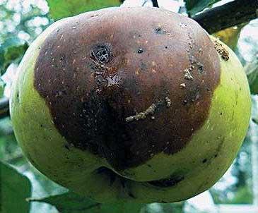 Черная гниль плодов