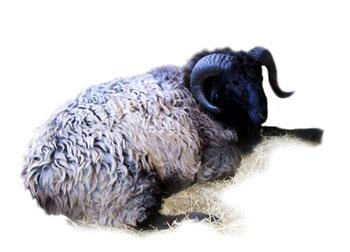 Овцы в Татарстане популярные породы