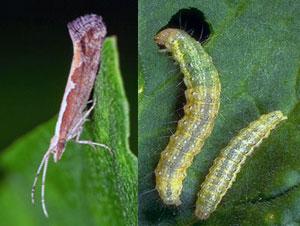 Капустная моль (бабочка и гусеница)