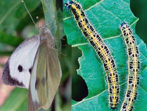 Капустная белянка (бабочка и гусеница)