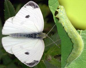 Репная белянка (бабочка и гусеница)