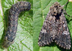 Капустная совка (бабочка и гусеница)