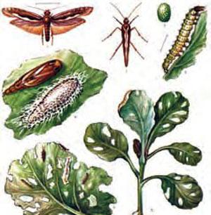 Рапсовый пилильщик (бабочка и гусеница)
