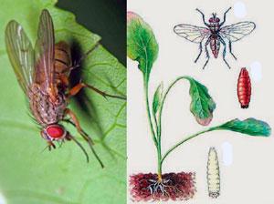 Капустные мухи весенняя и летняя