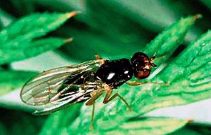 Морковная муха откладывает яйца в почву около корней моркови, петрушки, пастернака, сельдерея
