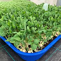 микрозелень ростки горошка