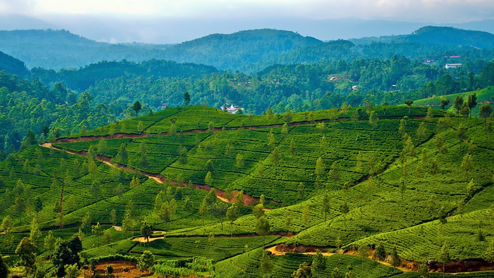 Sri-Lanka-tea-plantation.jpg