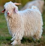 Мохеровая пряжа, коза