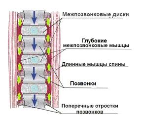 Глубокие короткие мышцы позвоночника особенности работы