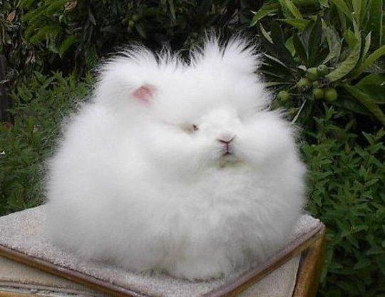 ангорский_кролик.jpg