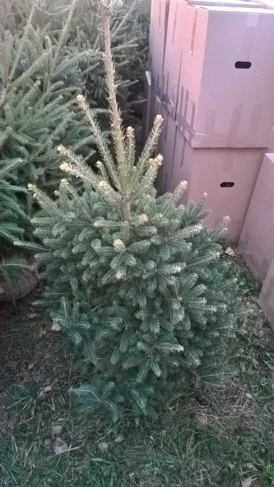 Ель канадская сизая Picea glauca