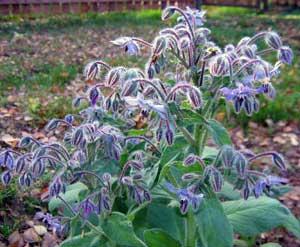 Огуречная трава - приправа и лекарственное средство