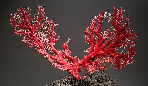 ветка красного коралла