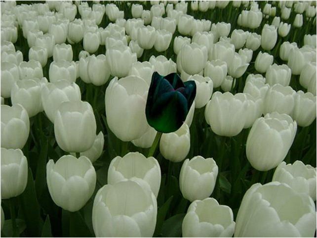 корейские_брашинги_черный_тюльпан.jpg