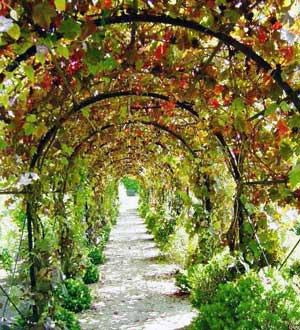 Виноград в вертикальном озеленении