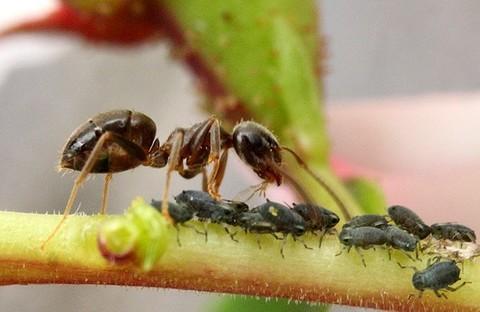 Муравьи Lasius niger