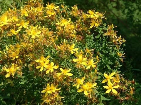 Зверобой трава лечебные свойства и противопоказания
