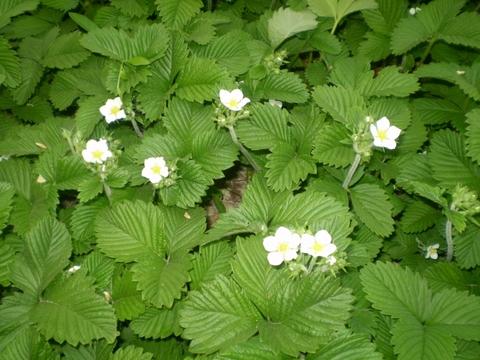 Земляника листья полезные свойства и противопоказания