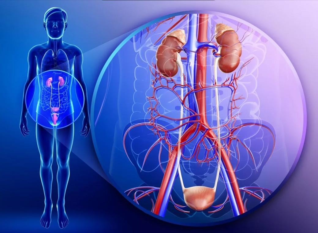 Здоровые почки -железные нервы