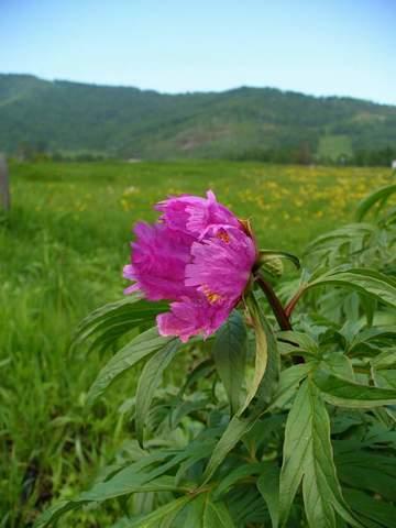 Пион (Марьин корень) лечебные свойства и противопоказания