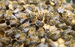 Рецепты с пчелиным подмором