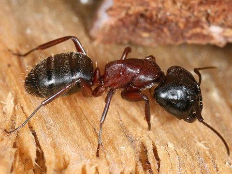 Camponotus herculeanus - Красногрудый муравей древоточец
