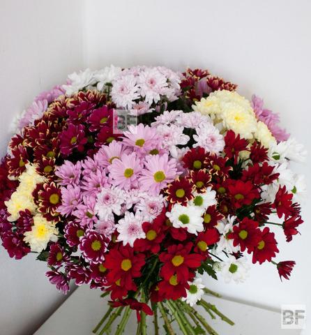 Сорта хризантем с фото и описанием - часть 2