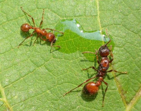 Температурный режим для муравьев