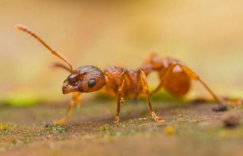 Род муравьев Myrmica