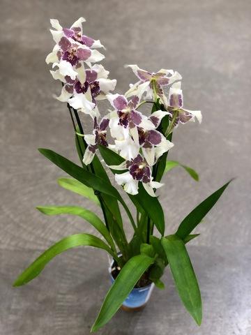 Неделя орхидей до 20 января!