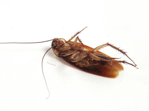 Как избавиться от тараканов в квартире народными средствами?