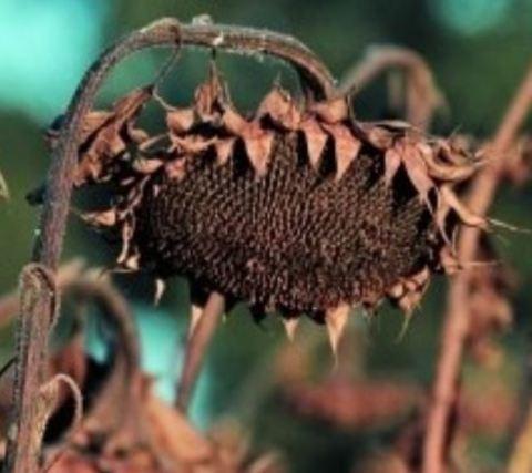 Десикация или как убивают пользу растительного масла